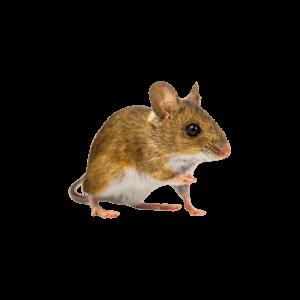 Tulsa Pest Control Mouse 300